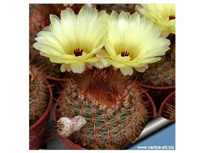 بذر کاکتوس نوتو Notocactus schlosserii بسته 15 عددی
