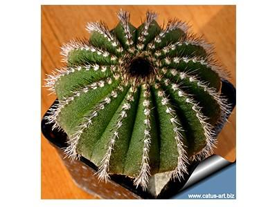 بذر کاکتوس اوبلمانیا   Ubelmania Pactinifera بسته 15 عددی