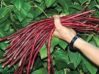 بذر لوبیا غلاف بلند قرمز - USA