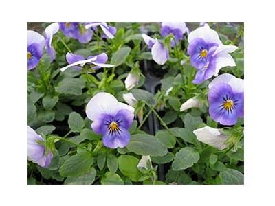 بذر گل بنفشه آبی درجه یک