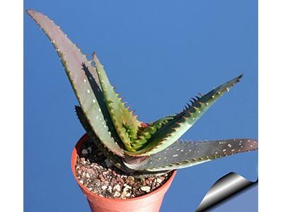 بذرساکولنت آلوئه میروستیگما Aloe microstigma بسته 15عددی