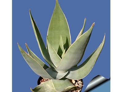 بذرساکولنت آلوئه Aloe Striata بسته 15 عددی