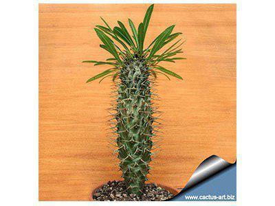 بذر ساکولنت نخل ماداگاسکار Pachypodium lamerii بسته 50 عددی