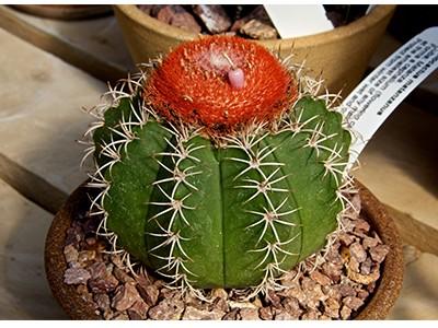 بذر کاکتوس ملو Melocactus matanzanus بسته 15 عددی