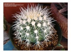 بذر کاکتوس اچینو تیغ سفید  Echinocactus grusonii albispinus بسته 15 عددی