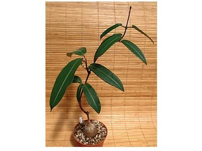 بذر ساکولنت  پتوپنتیا Petopentia Natalensis بسته 1000 عددی