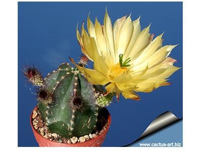 بذر کاکتوس اچینوسرئوس Echinocereus Subinermis Luteus بسته 50 عددی