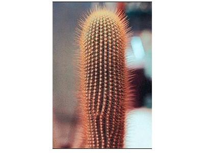 بذر کاکتوس سفالوسرئوس Austrocephalocereus estevesii بسته 15 عددی