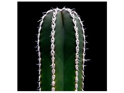 بذر کاکتوس مارجیناتوسرئوس Marginatocereus Marginatus بسته 1000 عددی