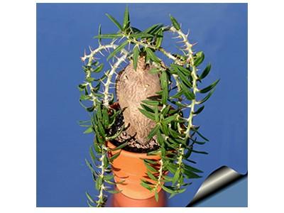 بذر کاکتوس نخل رونده کلکسیونی pachypodium bispinosum بسته 15 عددی