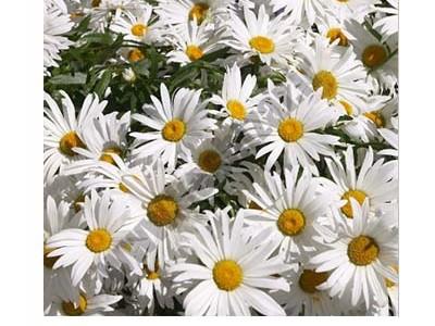 بذر گل مینا چمنی سفید سبزپرور یک گرمی