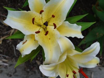 پیاز گل لیلیوم زرد لب سفید هیبرید OT هلند سایز 18/20 - بسته 3 عددی