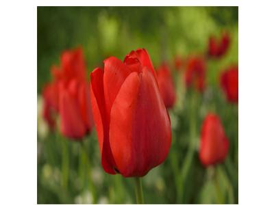 پیاز گل لاله هلندی  قرمز (5عدد)Spryng