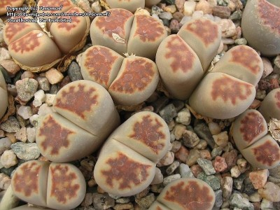 بذر ساکولنت لیتوپس Lithops Karasmontana summitatum  بسته 1000عددی
