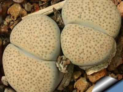 بذر ساکولنت لیتوپس Lithops Fulviceps  بسته 1000عددی