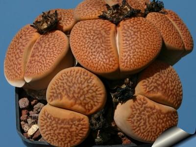 بذر ساکولنت لیتوپس Lithops Hookeri marginata  بسته 1000عددی