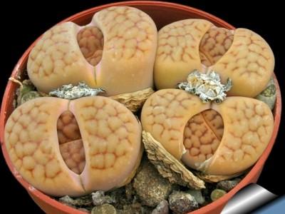 بذر ساکولنت لیتوپس Lithops Hookeri Lutea  بسته 1000عددی