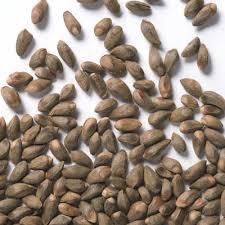 بذر سرو خمره ای(100گرم)