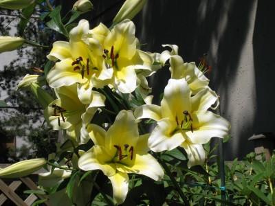 پیاز گل لیلیوم زرد لب سفیدCONCADOR OT هیبرید هلندی (3 عدد پیاز)