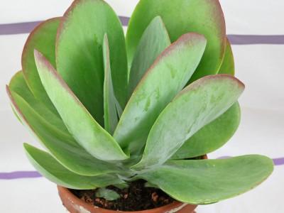 بذر ساکولنت کالانکوئه Kalanchoe thyrsifolia بسته 1000عددی