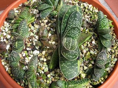 بذر ساکولنت Gasteria bicolor بسته 1000عددی