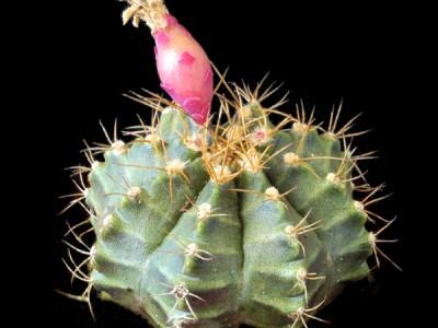 بذر  ژمینو Gymnocalycium mihanovichii from بسته 1000عددی