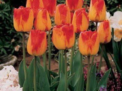 پیاز گل لاله هلندی Orange Emperorنارنجی قرمز(5عدد)