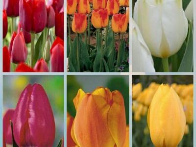 پیاز گل لاله هلندی (60عدد از هررنگ 10 عدد)MIX