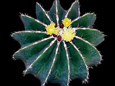 بذر کاکتوس فرو Ferocactus schwarziiبسته 1000 عددی