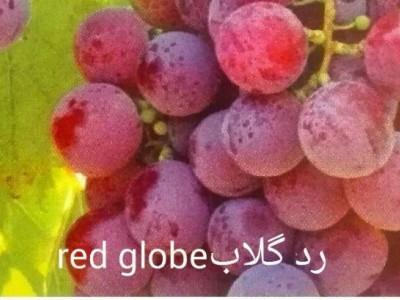 نهال انگور،رد گلاب(red globe)