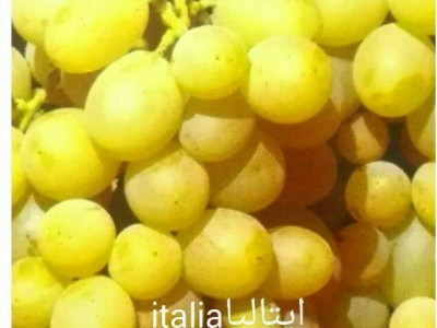 نهال انگور ایتالیا(italia)