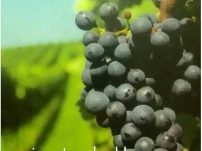 نهال انگور،پریما (prima lova)