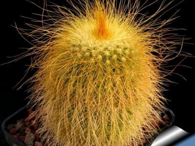 Eriocactus leninghausii(بسته 1000عددی)