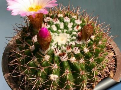 بذر کاکتوسNotocactus horstii(بسته 1000عددی)