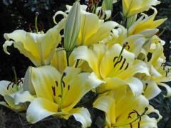 پیاز گل لیلوم زرد معطر SERANO OT