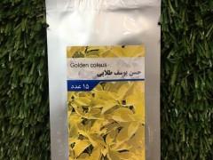 بذرگل حسن يوسف طلايي پان امريكن f1