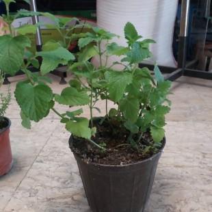 گیاه دارویی بادرنجوبه گلدانی