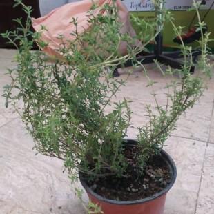 گیاه دارویی آویشن گلدانی