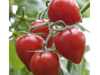 بذر گوجه توت فرنگی هیبرید