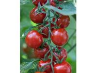 بذر گوجه قرمز گیلاسی