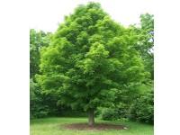 بذر درخت افرا