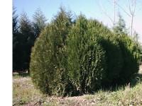 بذر درخت کاج خمره ای