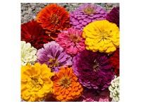 بذر گل آهارپامتوسط پرپر گل درشت پرگل الوان