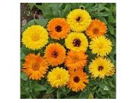 بذر گل همیشه بهار زرد و نارنجی