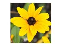 بذر گل کوکب کوهی 3410