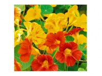 بذر گل لادن 3930
