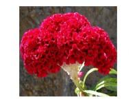 بذر گل تاج خروس چتری پاکوتاه قرمز