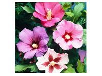 بذر گل ختمی الوان 2130