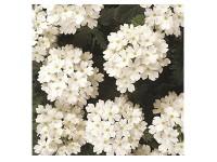 بذر گل شاهپسند یکساله 2711