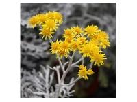 بذر گل ابری نقره ای 1250